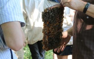 Hier sieht man noch einmal eine Biene voller Arbeiterbienen.