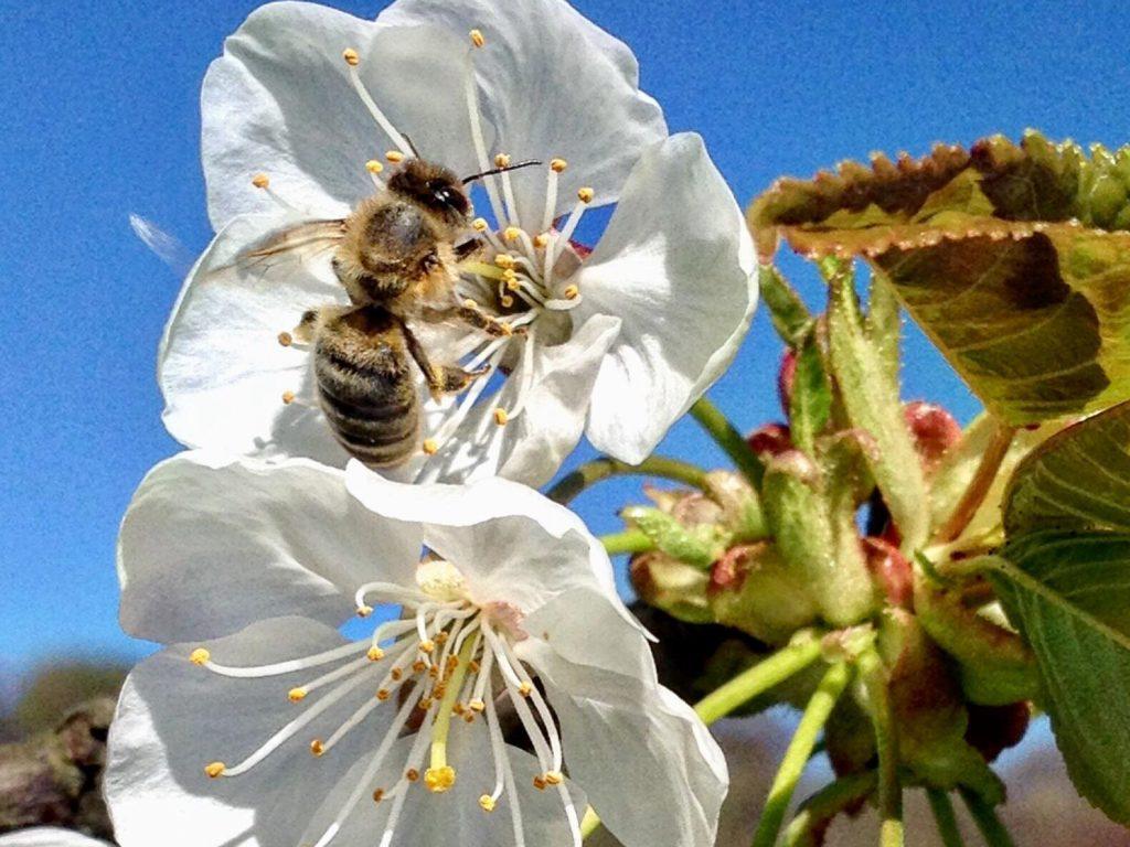 Hoffnung für die Honigbiene