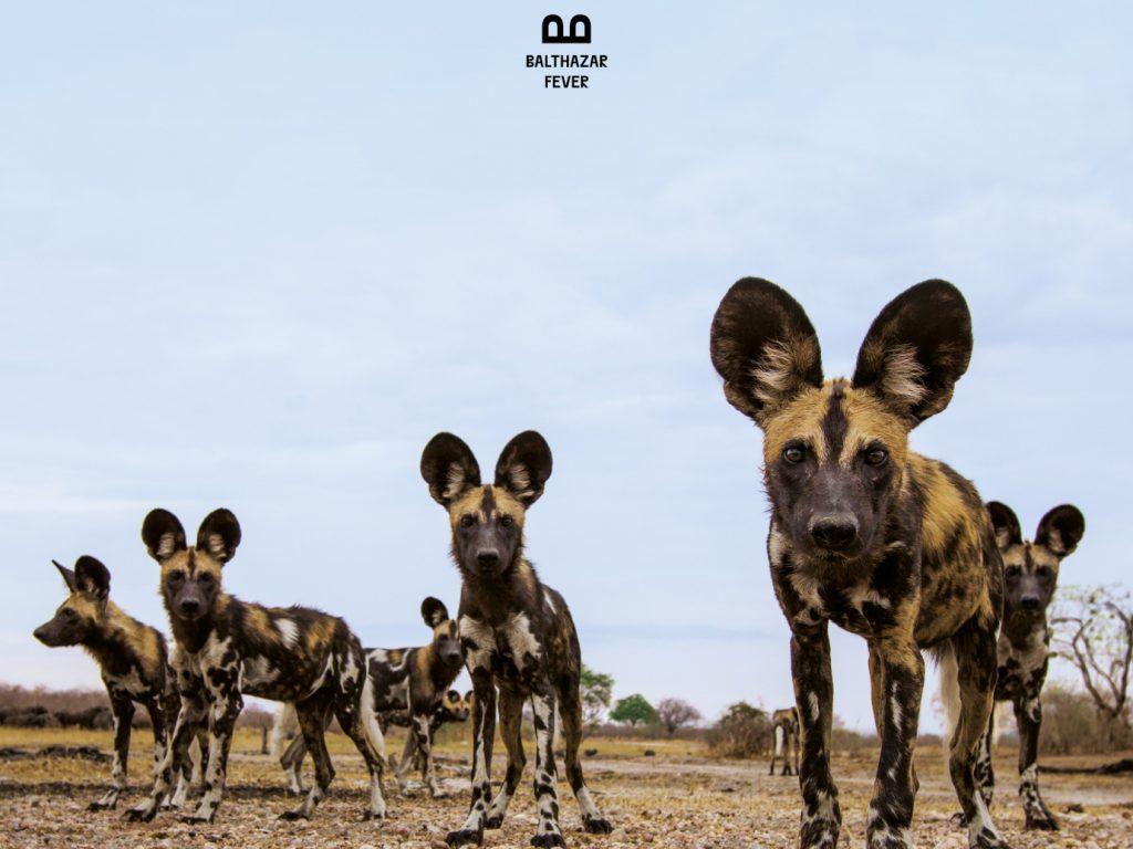 Album der Woche: Balthazar – Fever