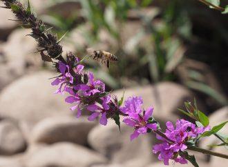 Die Biene: Von Blüte zu Blüte